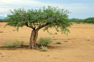 Death Valley Mesquite tree